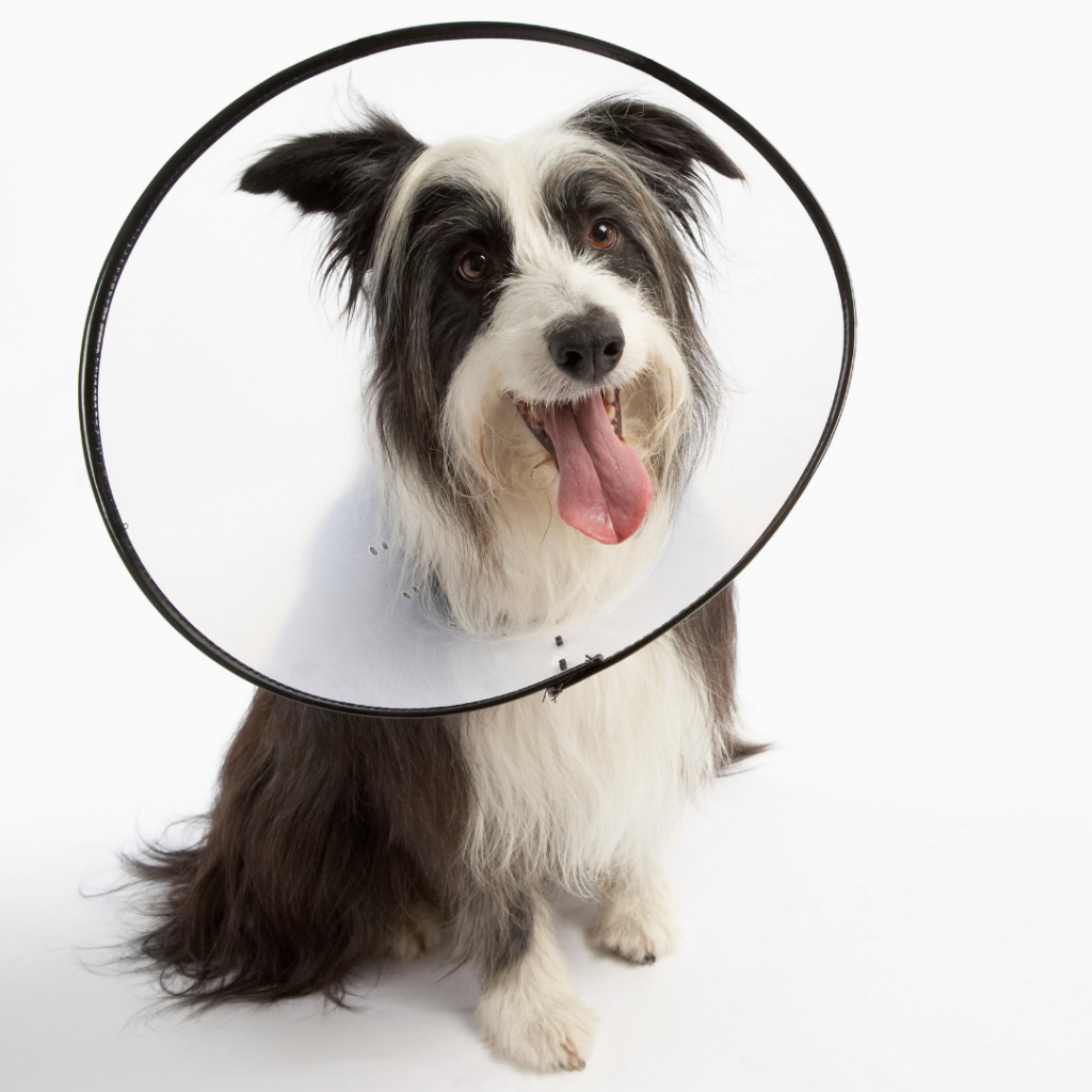 Bearded collie in buster collar / elizabethan collar / lampshade post surgery.