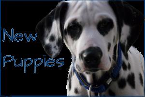 https://www.lottiesdogs.co.uk/puppies/